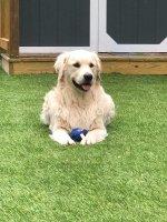 Shrewsbury Dog