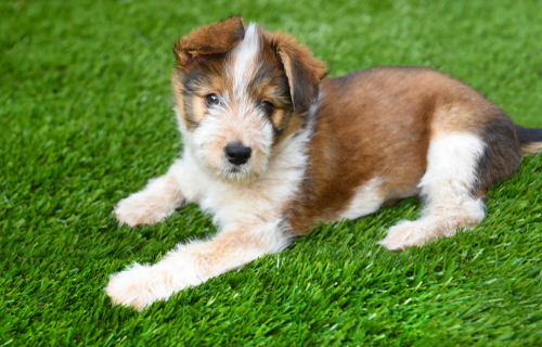A dog on synthetic turf lawn